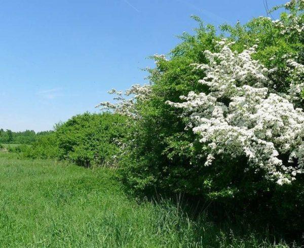 Blühende Hecke (4)